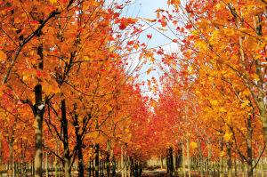 色叶树种选优研究