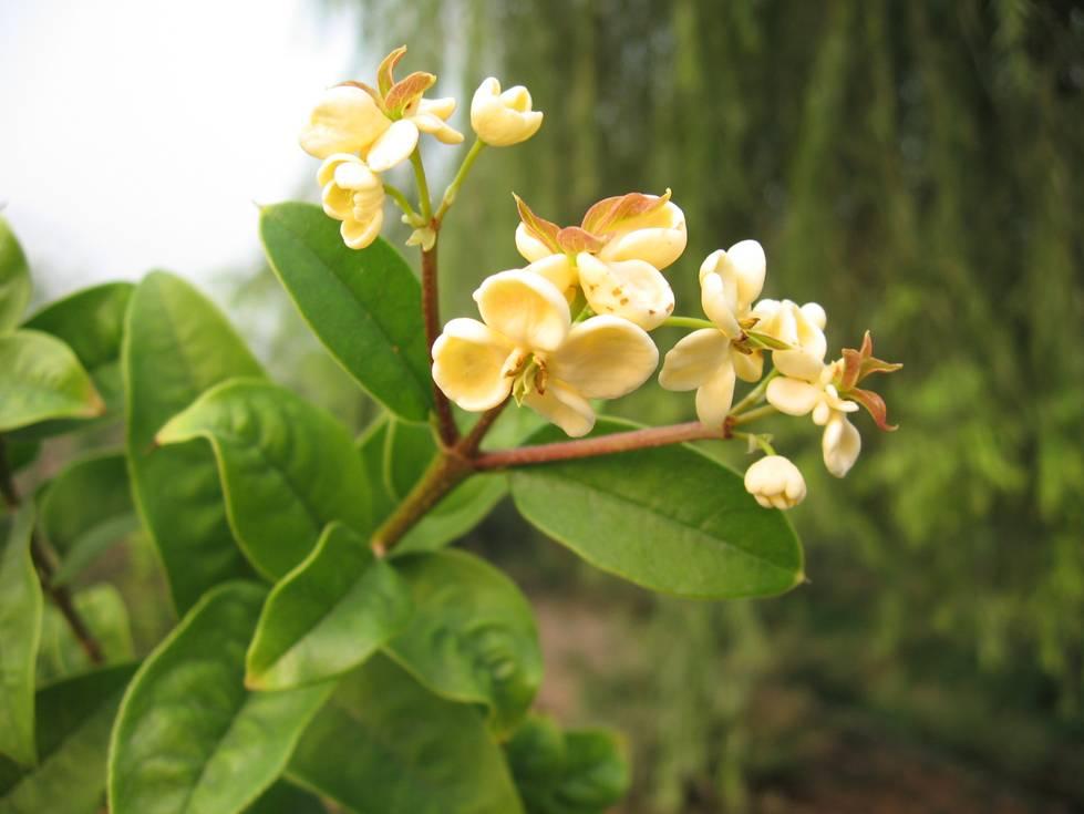 桂花及木犀科植物研究