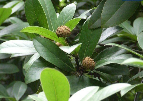 《优良园林绿化树种阿丁枫育苗技术研究》