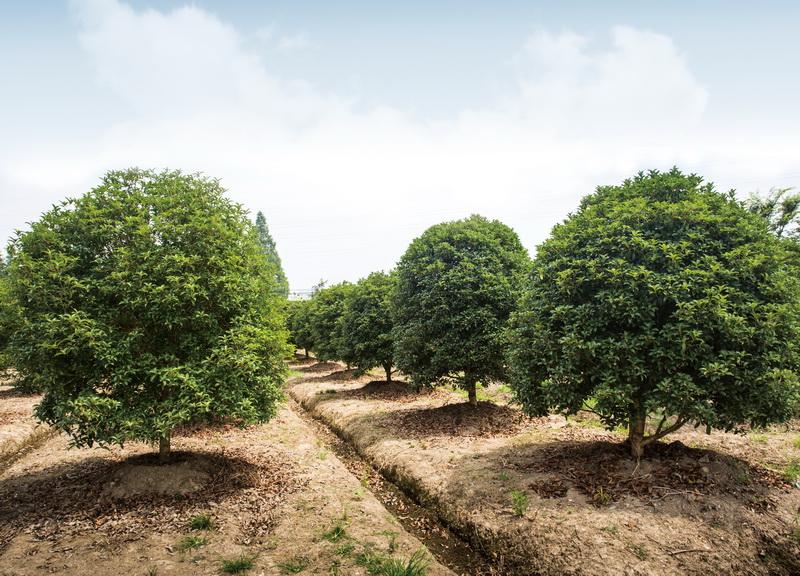 《杭州龙8国际唯一官网园林集团桂花品种的调查与分类研究》