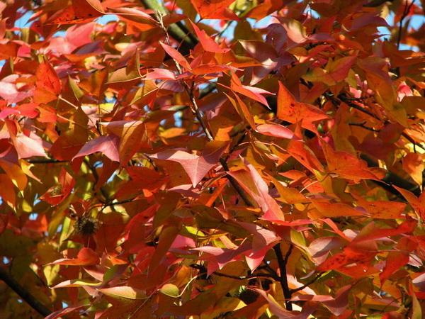 乡土树种色叶树种选优研究