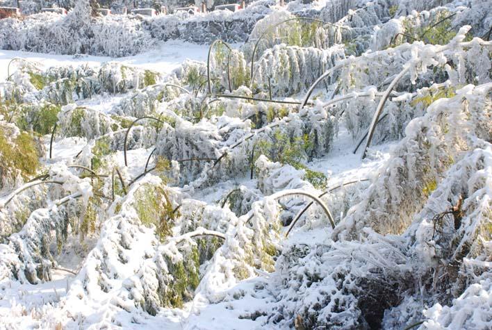 园林植物冰冻雪灾防护研究