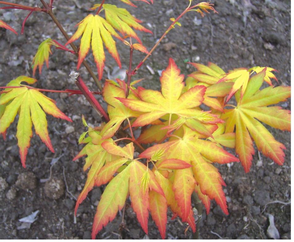 金叶鸡爪槭